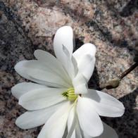 Magnolia on Rock