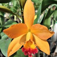Bicolor Orchid