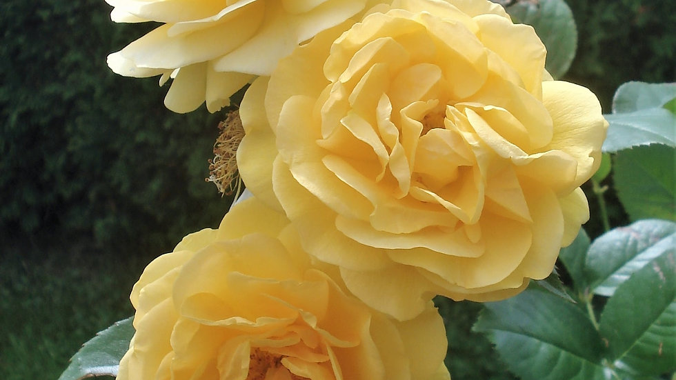 Yellow Triplets