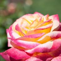 Pink to Yellow Rose