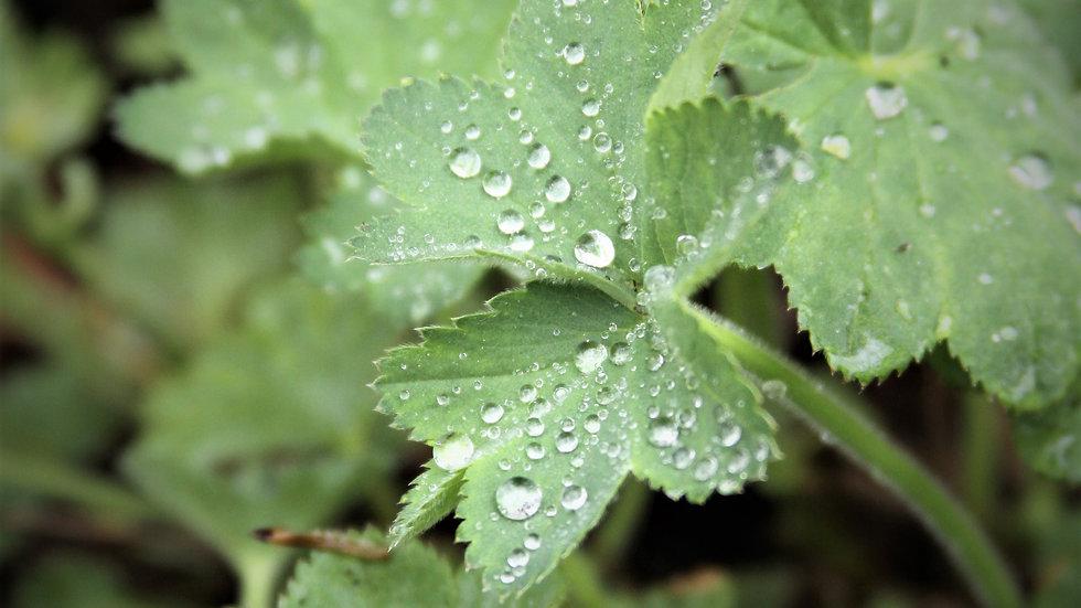Tiny  Dew Drops