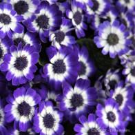 Little Purple Faces