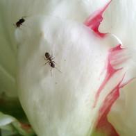 Ants on Peony Bloom