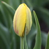Dew on Yellow Tulip