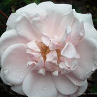 Dew on Pink Rose