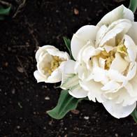White Tulip Open