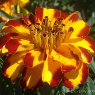 Bicolor Marigold