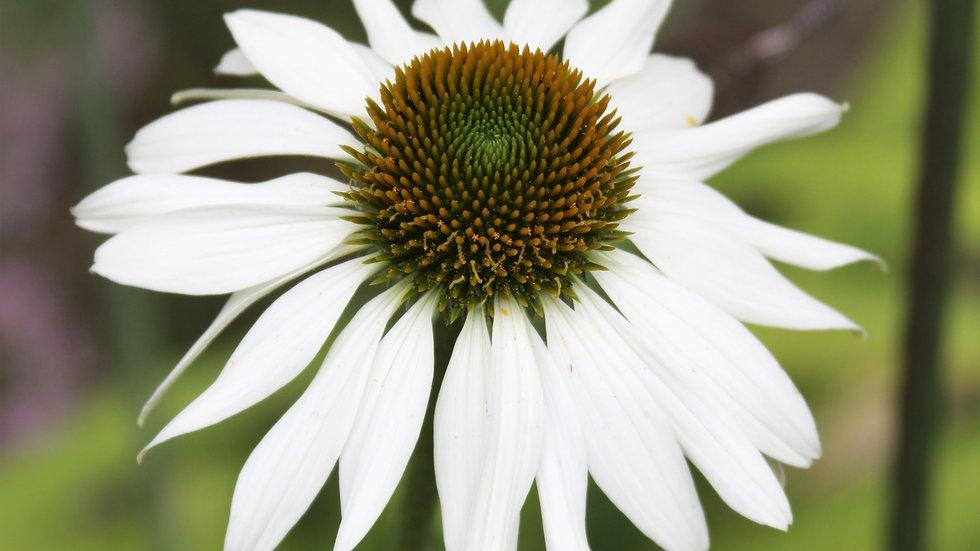 White Rudbeckia