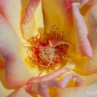 Up Close Garden Rose