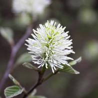 White Bottlebrush