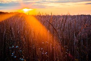 Canva - Photography of Wheat.jpg