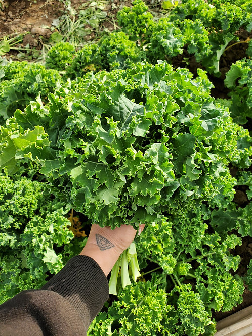 Green Kale, 6 bunches