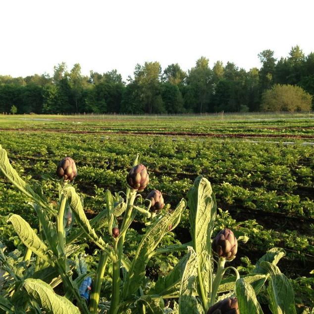 artichokes.jpg