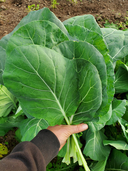 Collards, 2 bunches