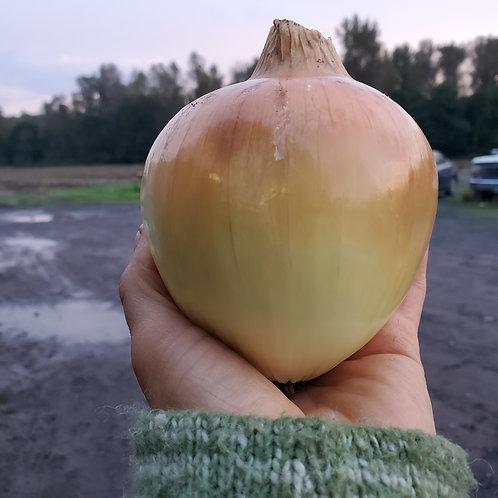 Yellow storage onion, 1 lb