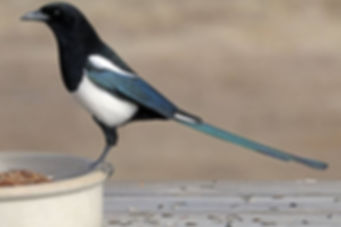This Black-Billed Magpie's tail makes up