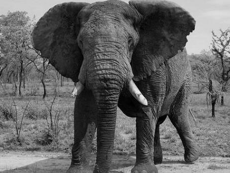 [Africa Business News]アフリカでゾウが激減!