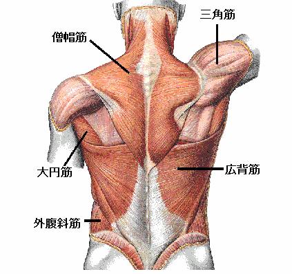 痛み 広背筋 背中が痛む!痛む場所ごとに図で見る14の原因:肩こり?それとも他の病気?