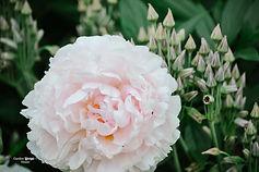 Rivin_Garden_Lifestyle_pionit-1.JPG