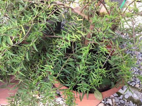 Backhousia angustifolia