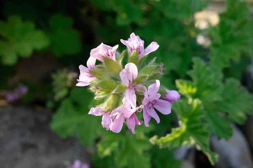 Pelargonium graveolens 'Queen of Roses'