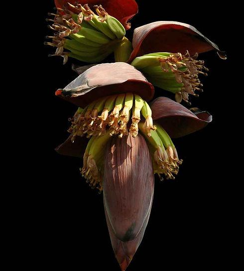 fleurs-bananier