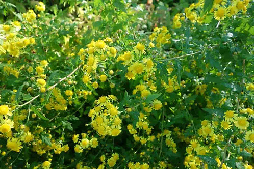 Chrysanthemum nankingense
