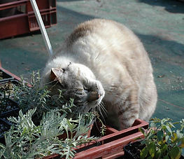 herbe-chats.jpg