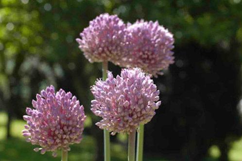 Allium porrum sp