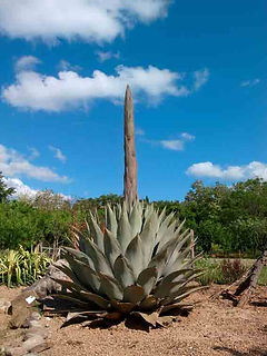 agave-parryi.jpg