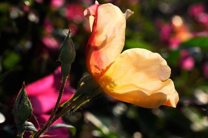 rosa-chinensis-mutabilis.jpg