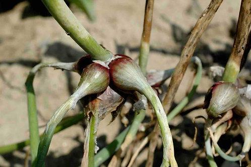Allium cepa var proliferum