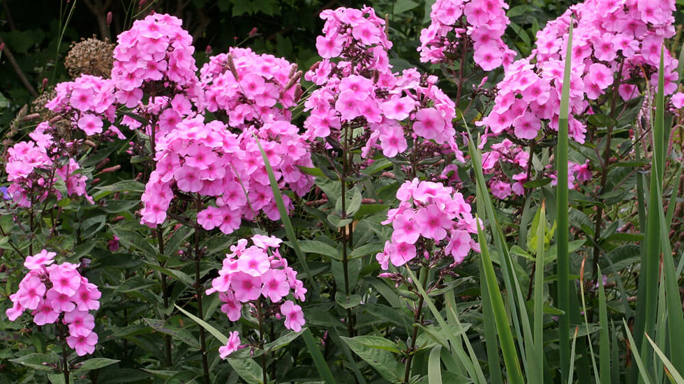 Phlox Paniculata (Pink)