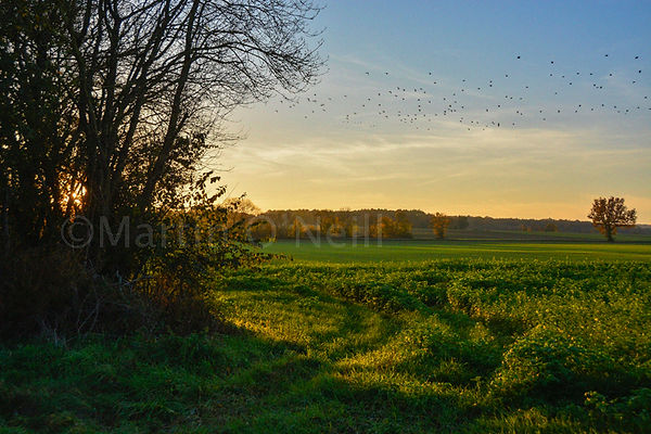 Field, flock of birds, sunset