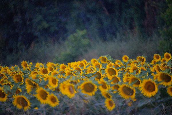 rain, sunflowers, field