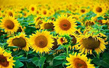 sunflowers, field, countryside