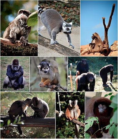 monkey, gorilla, apes, chimp