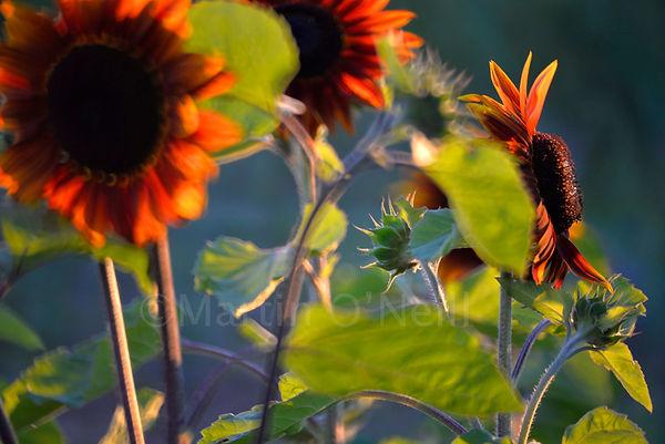sunflowers, buds, sunset