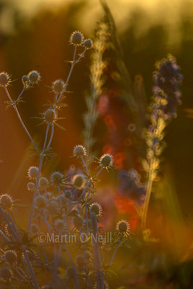 thistles, sunset, flower field