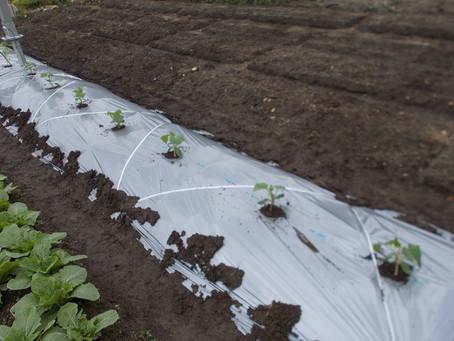 初めてキュウリ栽培に挑戦します!