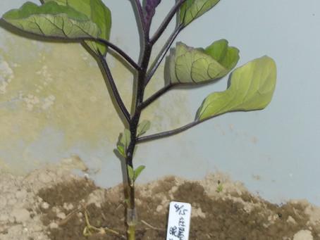 ナスを4種類、定植しました!