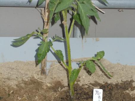 6種類のトマトを定植しました!