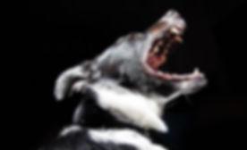 formation_chien_mordeur_catégorisé_anger
