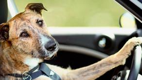 Des chiens qui conduisent ?