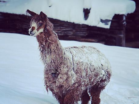 Lama et peau de phoques...