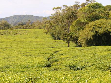 Bois Cheri et le thé Made in Mauritius