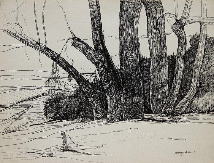Eucalyptus, Griffith Park