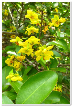 Bright yellow flowers with shiny leaves