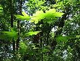 sunny leaves 6-06.JPG