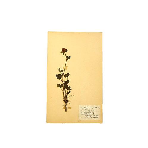Antique herbarium